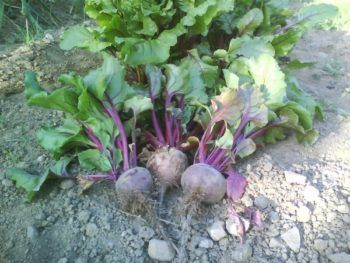cultivar remolacha