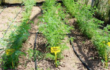 planta de garbanzos