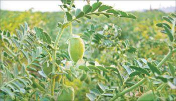 cultivar garbanzos