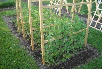 cultivar guisantes