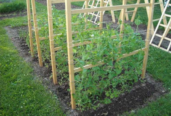 cultivar guisantes en el huerto y en macetas paso a paso