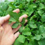 Cultivar Rúcula. ¿Se puede asociar con otro tipo de cultivos?