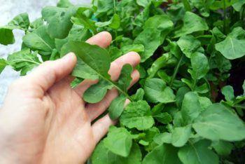 cultivar rúcula