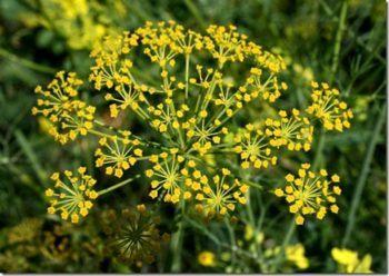 flores hinojo