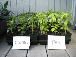 albahaca con te de compost o compost tea