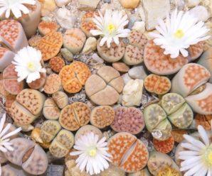 Lithops, plantas originales