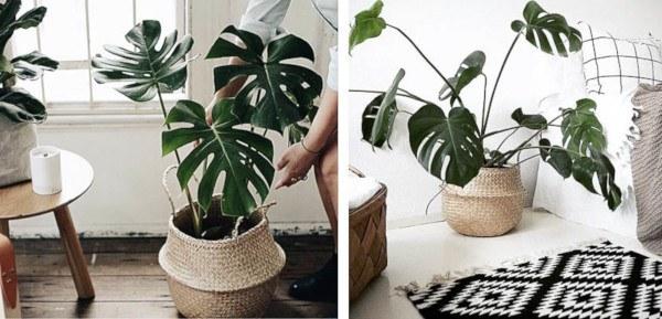 plantas originales: costilla de adán
