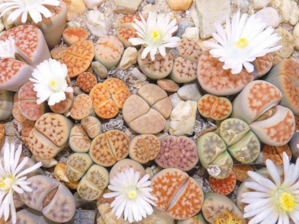 lithops: plantas raras y originales