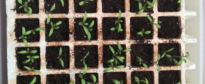 hacer un semillero de tomate