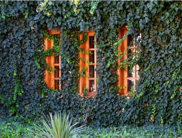 Jardín vertical continuo de enrredaderas