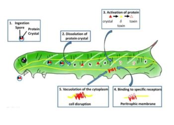 Modo de acción de Bacillus thurigiensis