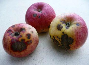 Sarna del manzano
