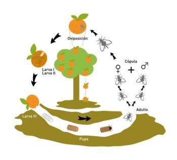 Ciclo de vida de la mosca de la fruta.