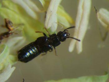 Estafilinido, un insecto beneficioso.