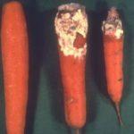 Enfermedades de la zanahoria: manchas, zonas podridas, etc