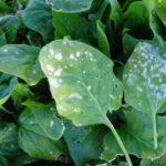 Enfermedades de las espinacas: manchas en las hojas y otros problemas