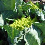Guía Completa para Cultivar Romanescu: ¿un cultivo mágico?